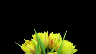 Time-lapse of opening yellow-red tulips in a vase 1x3 in RGB + ALPHA matte format isolated on black background