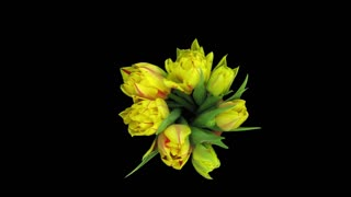 Time-lapse of opening yellow-red tulips in a vase 2x3 in RGB + ALPHA matte format isolated on black background