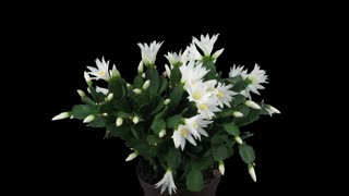 Time-lapse of rotating, growing and blooming white Easter (Rhipsalidopsis, Hatiora or Spring) cactus 3a4 in 4K PNG+ format with ALPHA transparency channel isolated on black background