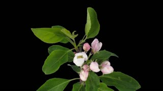 Time-lapse of rotating, opening and blooming apple branch 2b1 in PNG+ format with ALPHA transparency channel isolated on black background