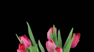 time-lapse, time lapse, time, lapse, timelapse, tulip, red, vase, flower, blossom, opening, blooming, nature, plant, open, growth, isolated, transparent, alpha, matte, channel