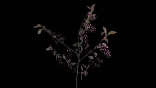 Tl Bird Cherry Pin 04 25 Fps 1080 P 30 S Blabg 90 Q Rgba