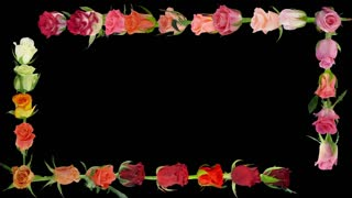 Montage of opening colorful roses time-lapse with includes alpha matte isolated on black