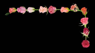 Opening colorful roses upper right frame time-lapse 7c3 in RGB + ALPHA matte format isolated on black background