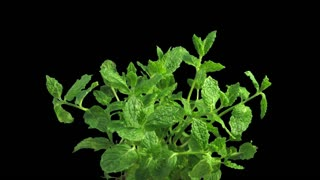 Phototropism effect in growing mint herb 1a1 with ALPHA transparency channel isolated on black background. Displays the move of plant leaves to the direction of light source.