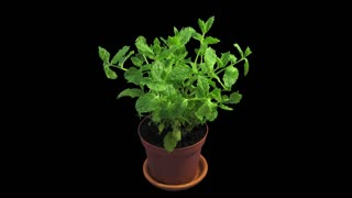 Phototropism effect in growing mint herb 1x1 with ALPHA transparency channel isolated on black background. Displays the move of plant leaves to the direction of light source.