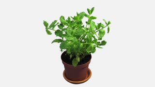 Phototropism effect in growing mint herb 1x4w in 4K format with ALPHA transparency channel isolated on white background. Displays the move of plant leaves to the direction of light source