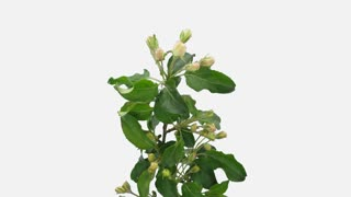 Time-lapse of blooming apple paradise branch 8b1w in PNG+ format with ALPHA transparency channel isolated on white background