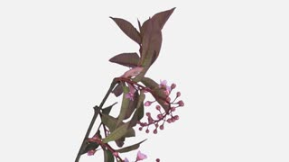 Time-lapse of blooming bird cherry branch 2b1w with ALPHA transparency channel isolated on white background