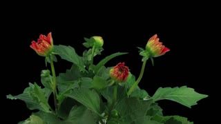 Time-lapse of blooming orange dahlia (georgine) flower 2b3 in RGB + ALPHA matte format isolated on black background