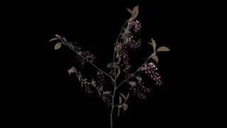Time-lapse of blooming pink bird cherry branch 4x1 in PNG+ format with ALPHA transparency channel isolated on black background