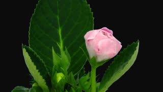 Time-lapse of blooming pink gloxinia flower 1e1 in PNG+ format with ALPHA transparency channel isolated on black background