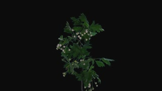 Time-lapse of blooming white Hawthorn (crataegus, thornapple, May-tree, whitethorn or hawberry) branch 2a1 in PNG+ format with ALPHA transparency channel isolated on black background