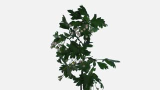 Time-lapse of blooming white Hawthorn (crataegus, thornapple, May-tree, whitethorn or hawberry) branch 2b1w in PNG+ format with ALPHA transparency channel isolated on white background