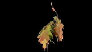 Time-lapse of drying Acer tree leaves 5a4-rev in 4K with ALPHA transparency channel isolated on black background, time reverse