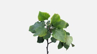 Time-lapse of drying Apple branch leaves 1a1w with ALPHA transparency channel isolated on white background