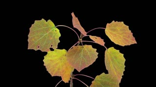 Time-lapse of drying Aspen tree leaves 1b1 in PNG+ format with ALPHA transparency channel isolated on black background