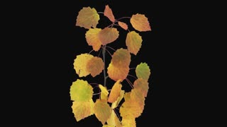 Time-lapse of drying Aspen tree leaves 2a1 with ALPHA transparency channel isolated on black background