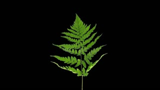 Time-lapse of drying Fern leaves 2a3 in RGB + ALPHA matte format isolated on black background