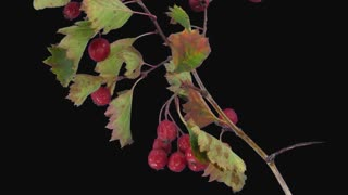 Time-lapse of drying Hawthorn leaves and red berries 3c1 in PNG+ format with ALPHA transparency channel isolated on black background