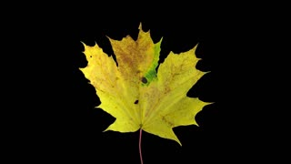Time-lapse of drying Maple leaves 11a4 in 4K with ALPHA transparency channel isolated on black background