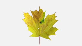 Time-lapse of drying Maple leaves 11a4w in 4K format with ALPHA transparency channel isolated on white background