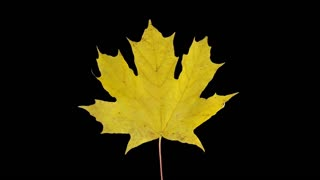 Time-lapse of drying Maple leaves 8a1 with ALPHA transparency channel isolated on black background