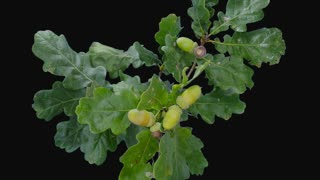 Time-lapse of drying Oak branch with leaves and acorns 4b1 in PNG+ format with ALPHA transparency channel isolated on black background