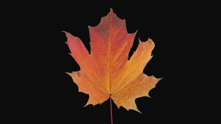 Time-lapse of drying orange Maple leaf 15a4 in 4K PNG+ format with ALPHA transparency channel isolated on black background