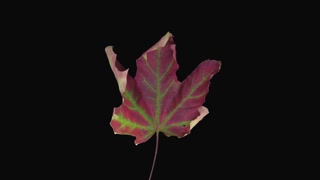 Time-lapse of drying red-green Maple leaf 9a3-rev in RGB + ALPHA matte format isolated on black background, time reverse