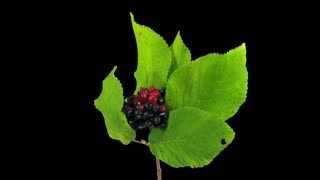Time-lapse of drying Viburnum shrub leaves 1a1 with ALPHA transparency channel isolated on black background