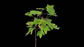 Time-lapse of drying white currant branch leaves 1a1 with ALPHA transparency channel isolated on black background