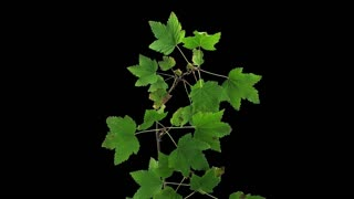 Time-lapse of drying white currant branch leaves 3a1 with ALPHA transparency channel isolated on black background
