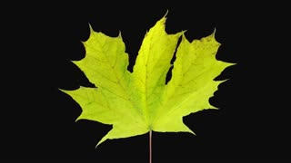 Time-lapse of drying yellow Maple leaf 10a1 with ALPHA transparency channel isolated on black background