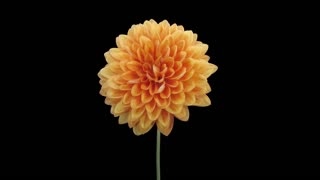 Time-lapse of dying orange dahlia (georgine) flower 10a1 with ALPHA transparency channel isolated on black background