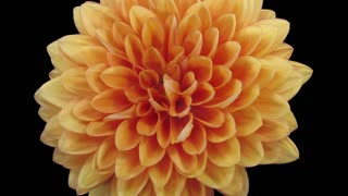 Time-lapse of dying orange dahlia (georgine) flower 10b3 in RGB + ALPHA matte format isolated on black background