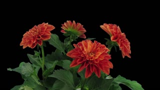 Time-lapse of dying orange dahlia (georgine) flower 2a3 in RGB + ALPHA matte format isolated on black background
