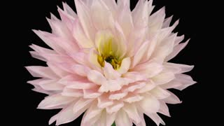 Time-lapse of dying pink dahlia 6a3 in RGB + ALPHA matte format isolated on black background