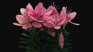 Time-lapse of dying pink lily bouquet 20e1 in PNG+ format with ALPHA transparency channel isolated on black background