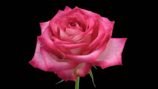 Time-lapse of dying pink N-joy rose with alpha transparent channel isolated on black background