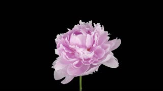 Time-lapse of dying pink Peony flower 2b1 with ALPHA transparency channel isolated on black background