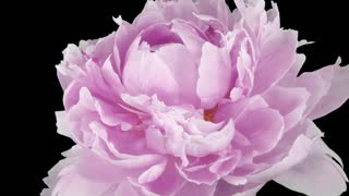 Time-lapse of dying pink Peony flower 2e1 with ALPHA transparency channel isolated on black background