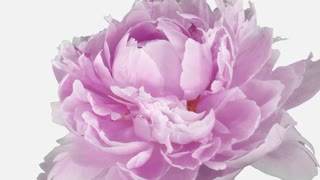 Time-lapse of dying pink Peony flower 2e1w with ALPHA transparency channel isolated on white background