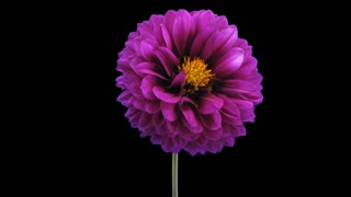 Time-lapse of dying purple dahlia flower 4x1 with ALPHA transparency channel isolated on black background