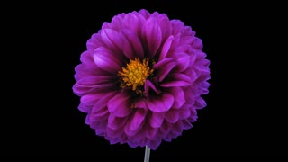 Time-lapse of dying purple dahlia flower 6x1 with ALPHA transparency channel isolated on black background