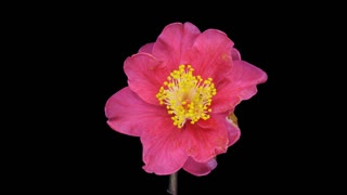 Time-lapse of dying red camellia flower 1a1 with ALPHA transparency channel isolated on black background