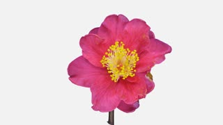 Time-lapse of dying red camellia flower 1a4w in 4K format with ALPHA transparency channel isolated on white background