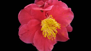 Time-lapse of dying red camellia flower 2a1 in PNG+ format with ALPHA transparency channel isolated on black background