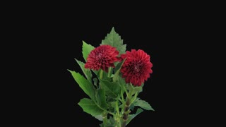 Time-lapse of dying red dahlia flower 13a4 in 4K format with ALPHA transparency channel isolated on black background