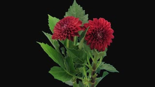 Time-lapse of dying red dahlia flower 13b1 in PNG+ format with ALPHA transparency channel isolated on black background